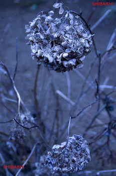 20140124_紫陽花.jpg