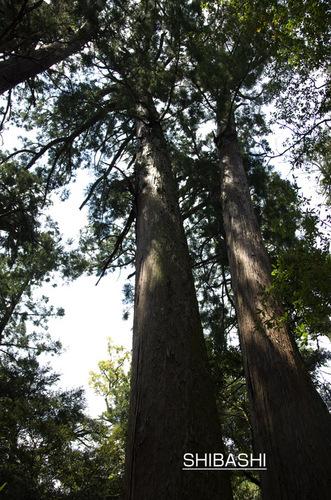 笠森の杉.jpg